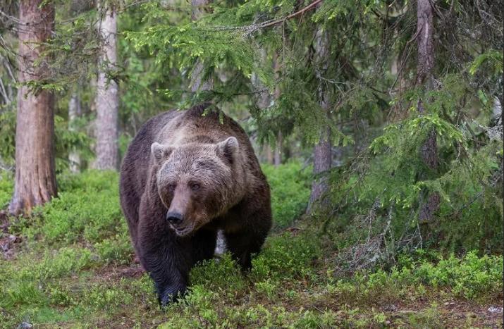 Ученые Карелии вели неправильный учет медведей