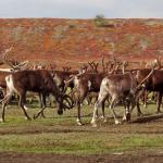 Война охотников и саами: разбирается прокуратура
