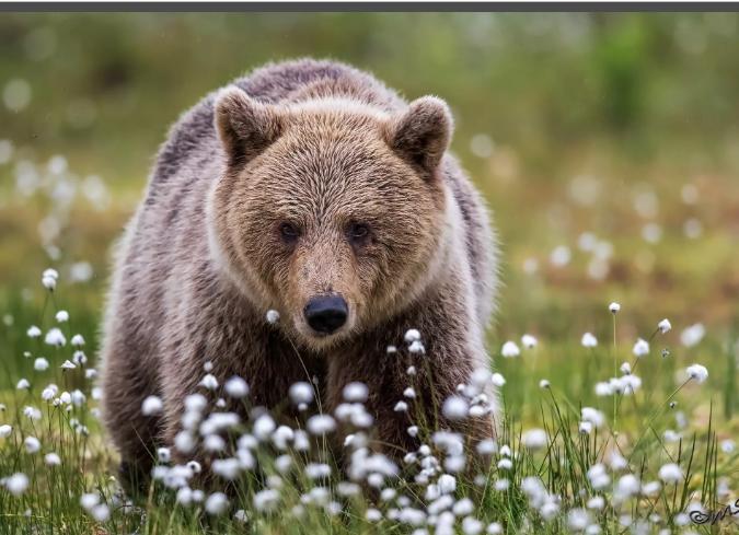 900 медведей допущено к отстрелу в Томских лесах