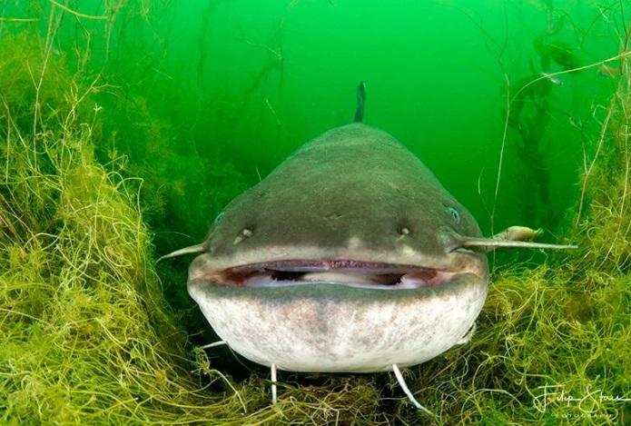 Два метра сома: можно ли считать рыбалку удачной или это против закона?