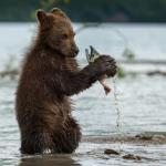 Медведь хоть и не обязан получать разрешение, но от рыбоохраны удрал