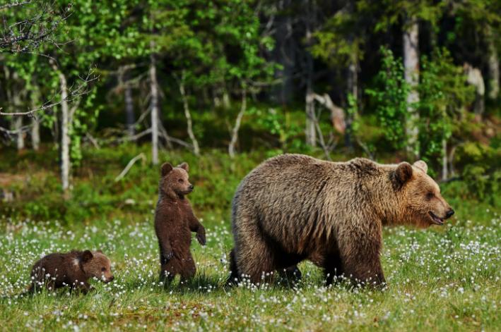 Медведи нападают всегда системно