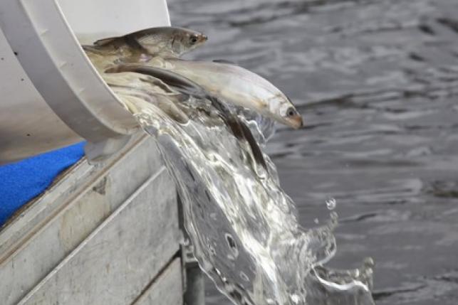 Молодь сига пополнила воды Куршского залива