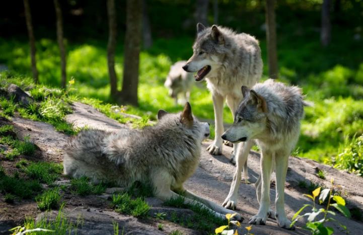 За пойманных волков будут давать вознаграждения
