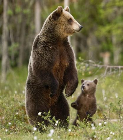 Депутат стал на защиту оренбургского медведя