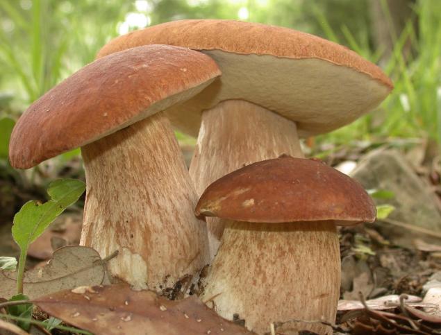 Грибники из Коми еще соберут в свои корзинки грибов