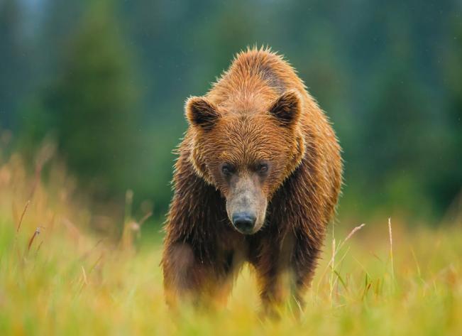 Медведь из Твери нападает на домашних животных