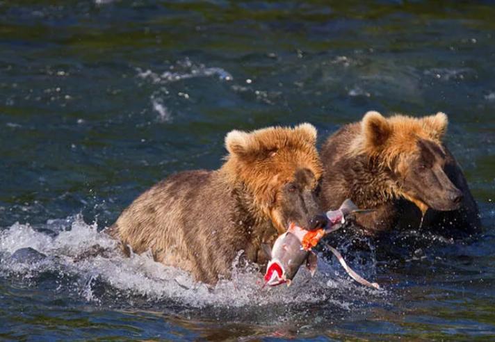 Медведи нападают на гуляющих граждан