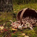 Мурманские грибники все чаще стали пропадать в лесу