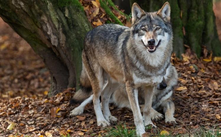 Охота на волков спровоцировала убийство человека