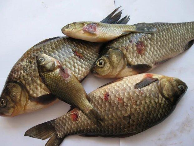 Рыба с язвами – что же, это наказание для самарцев?