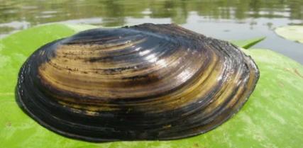 В Астрахани выловлен огромный моллюск