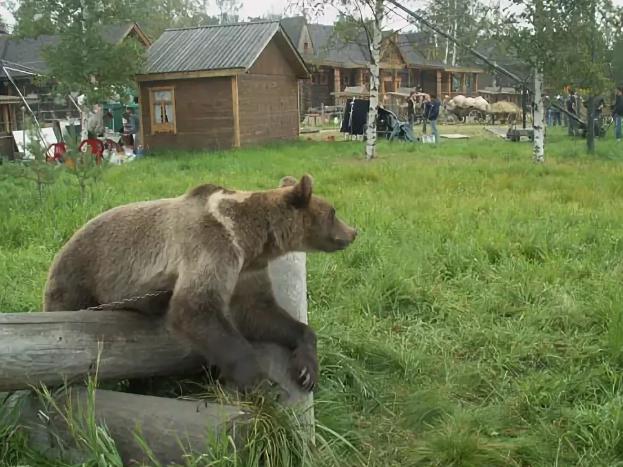 Медведи разгуливают по селам Алтая
