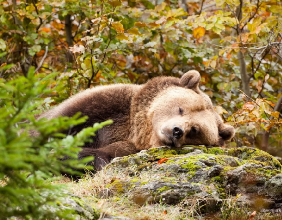 Браконьер за медведями будет судиться по всей строгости закона