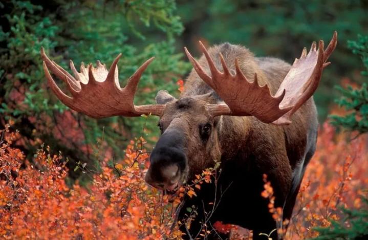 Браконьеры убили двух лосей в пензенском лесу