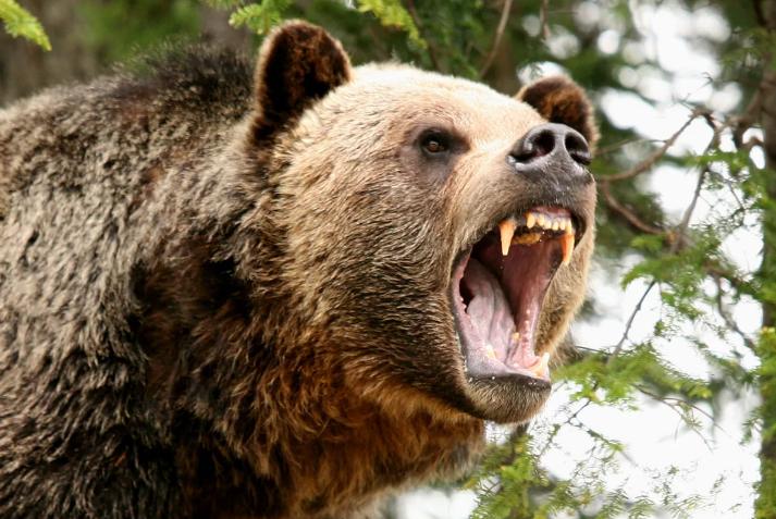 Медведь напал на человека на территории Кузбасса