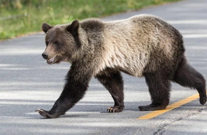 Медведь разгуливал по улочкам Чебоксар