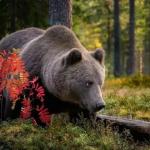 Медведя, который забрел в поселок и пугал местных жителей, застрелили