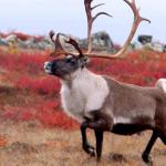 Министерство природы оленей призывает не отстреливать