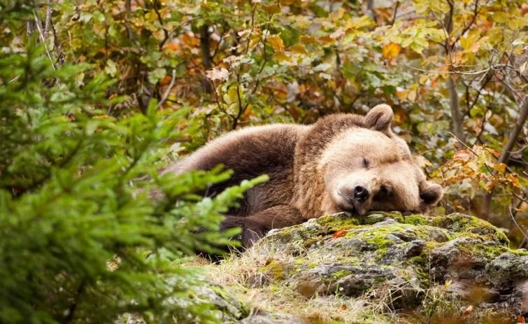 Охотник убил медведя и заплатит крупный штраф