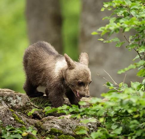 Охотник убил раненого медвежонка избежал наказания