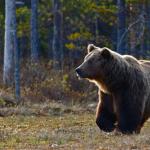 В Карелии убили второго медведя, державшего в страхе весь поселок