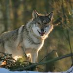20 000 рублей за волка или медведя
