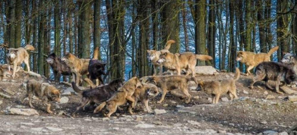 Ареал и места обитания волков