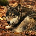 Бешеный волк обнаружен на территории Ростовской области