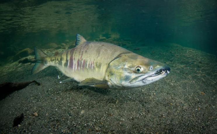 Браконьер ловил лосося без разрешений