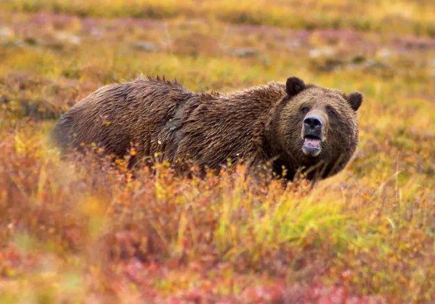 Браконьер убил редкого медведя, но уголовного наказания не последует