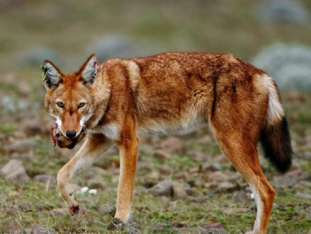 Эфиопский Волк