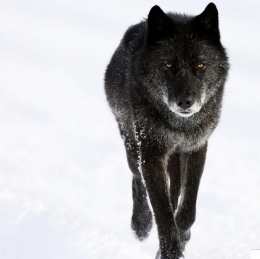 Лирый Волк