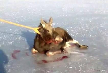 Лосей от природной ловушки спасали жители Башкирии
