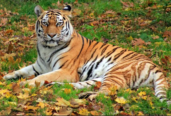 На охотника напал тигр