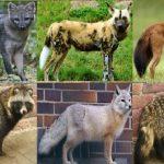 Псовые звери