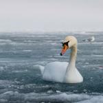 В Тобольске лебедя спасали от холодной смерти