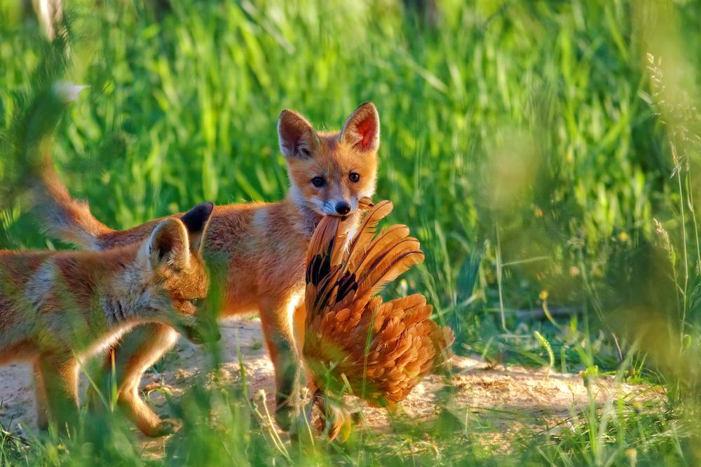 Чем питаются лисицы