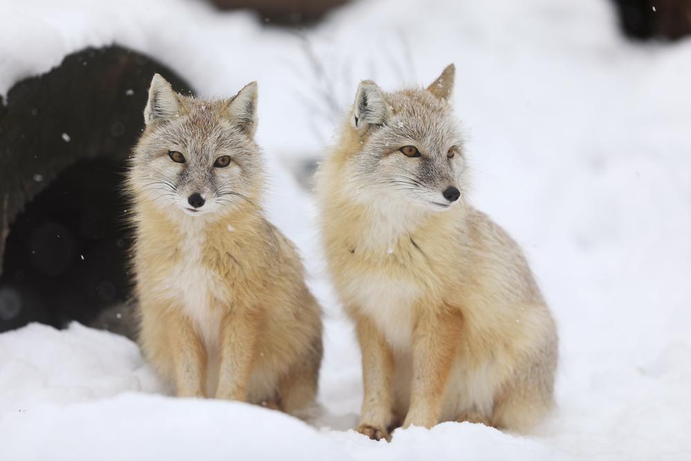 Корсак (степная лисица) описание
