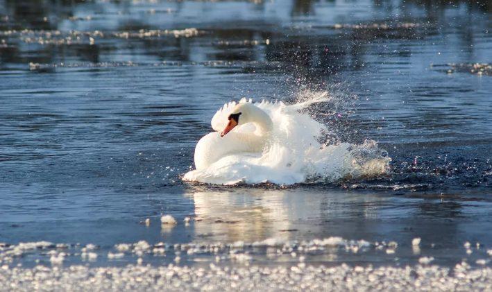 Лебеди прилетели в Алтайский край, чтобы переждать зиму