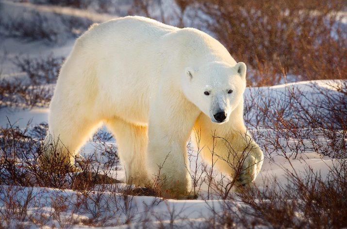 Медведи, окружившие село на Чукотке, оставили людей