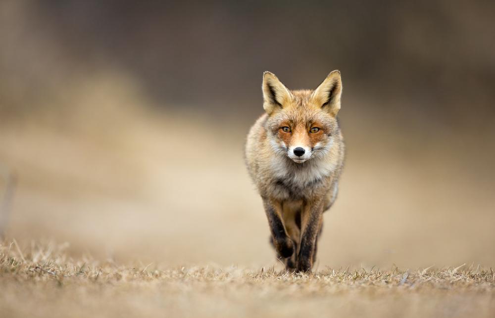 Передвижение лисицы