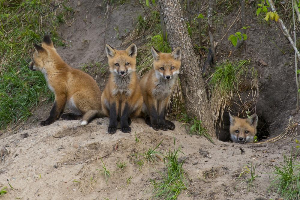 Размножение и потомство лисиц