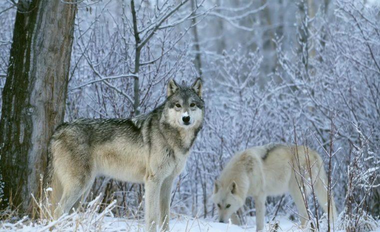 В Прикамье охота вновь будет вознаграждаться