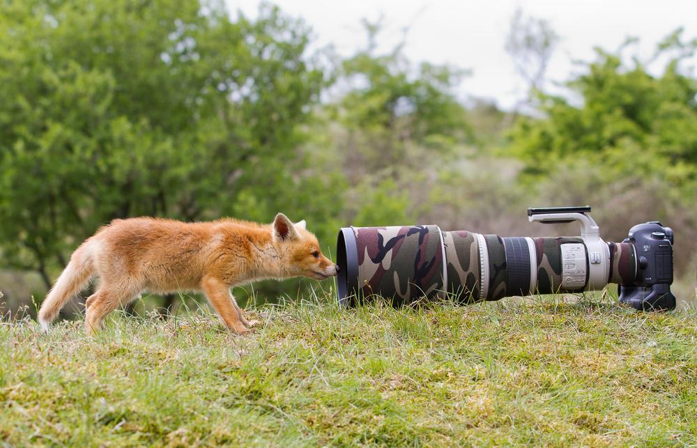 охота на лисицу