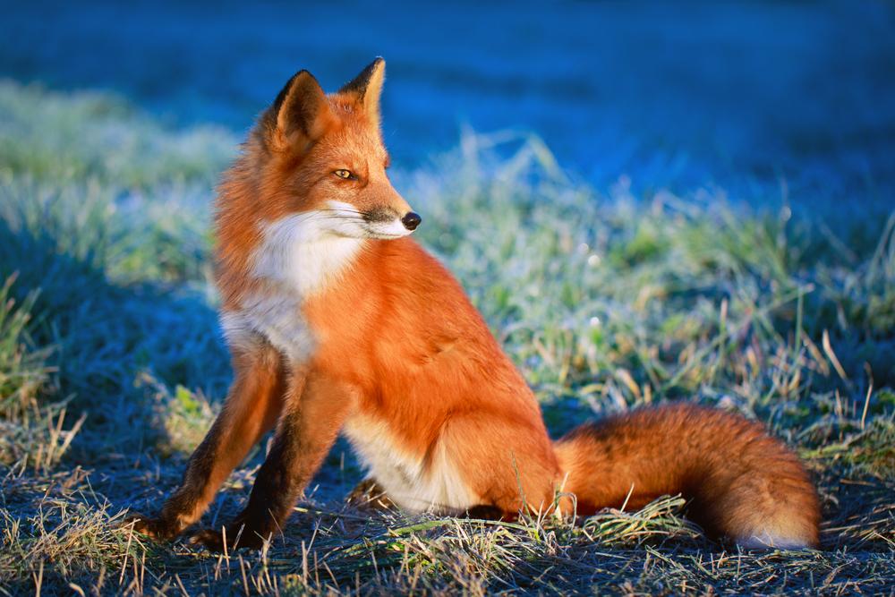 Описание лисицы
