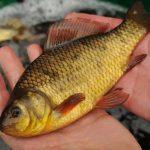 Будущее золотого карася взволновала астраханских рыбаков