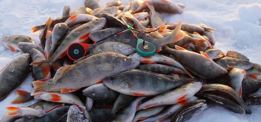 Ловим окуня в глухозимье. Секрет одного рыбака