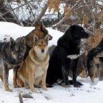 Охота на диких собак в Самаре стала официальной