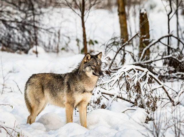 Охотник, вместо волка, убил своего сына